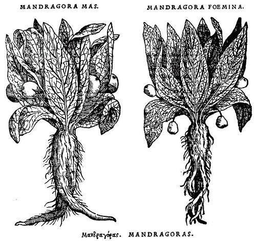 Mandrágora Macho / Mandrágora Faemina