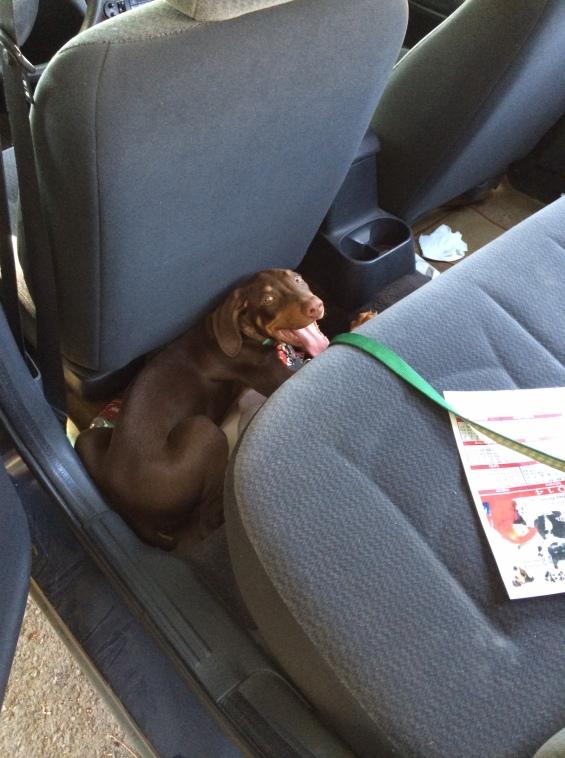 Morenito va al veterinario en coche