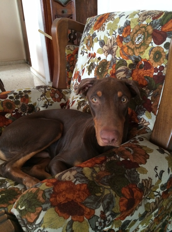 Dobermann on the couch